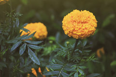 Marigolds Flowers also call Tagetes erecta or Mexican marigold or Aztec marigold or African marigold. In vintage style Royalty Free Stock Image