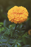 Marigolds Flowers also call Tagetes erecta or Mexican marigold or Aztec marigold or African marigold. In vintage style Royalty Free Stock Photo