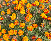 Marigolds flowers closeup Royalty Free Stock Photo