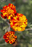 Marigolds flowers closeup Royalty Free Stock Photography
