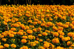 Marigolds flowers in the garden. Stock Photo