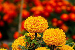 Marigolds flowers in the garden. Stock Photography