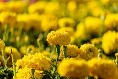 Marigolds flowers in the garden. Royalty Free Stock Images