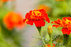 Marigolds flowers in the garden. Royalty Free Stock Photo