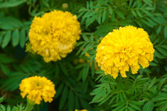 Marigolds flowers in the garden Stock Images