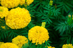 Marigolds flowers in the garden Stock Image