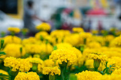 Marigolds flowers in the garden Royalty Free Stock Photography