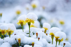 Marigolds flowers under the snow Royalty Free Stock Photos