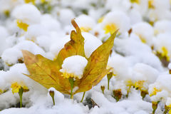 Marigolds flowers under the snow Stock Photography