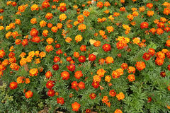 Marigolds flowers Royalty Free Stock Photography