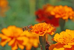 Marigolds franceses Imagens de Stock
