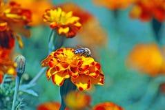 Marigolds franceses Fotografia de Stock