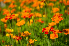 Marigolds Royalty Free Stock Image