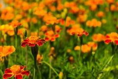 Marigolds Royalty Free Stock Image