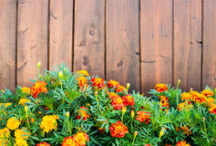 Marigolds in front of the brown wooden fence Royalty Free Stock Images