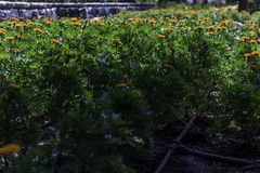 Marigolds garden bed from side. Colorful marigolds garden bed in the sun with irrigation system from side royalty free stock photography