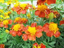 Marigolds in the garden. Brown, orange and yellow flowers Stock Photo
