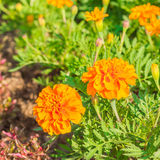 Marigolds in garden Royalty Free Stock Photography