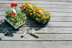 Marigolds geraniums. Marigolds and geraniums about to be planted with tools on deck Stock Photography