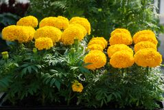 Free Marigolds Gold Color Tagetes Erecta, Mexican Marigold Royalty Free Stock Photo - 181647235