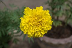 Marigold flower. Marigolds are hardy, annual plants and are great plants for any garden. Broadly, there are two genuses which are referred to by the common name Stock Photography
