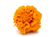 Marigolds isolated Stock Photos