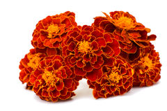 Marigolds isolated Stock Images