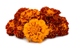 Marigolds isolated Stock Image