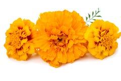 Marigolds isolated Royalty Free Stock Image