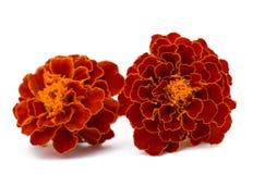 Marigolds isolated Royalty Free Stock Photography