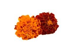 Marigolds isolated Stock Image