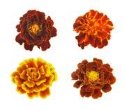 Marigolds isolated on white background Royalty Free Stock Photos