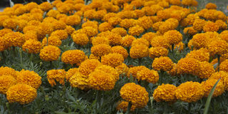 Marigolds Latin Tagetes. Are flowers that differ in a variety of species and varieties, among them there are both annual and perennial varieties royalty free stock photos