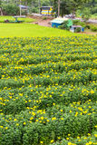 Marigolds living road Stock Photography