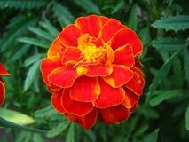Marigolds in macro mode Royalty Free Stock Photos