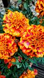 Marigolds. Marigold flowers bloom Royalty Free Stock Photography