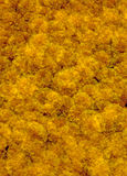 Marigolds Multiple Exposure. Orange marigolds multiple exposure done in camera. High resolution 12MP camera Royalty Free Stock Images