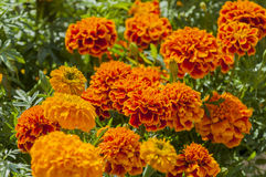 Marigolds. Orange marigolds in flower pots Royalty Free Stock Images