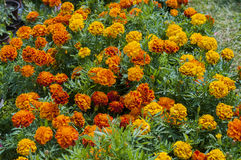 Marigolds. Orange marigolds in pots, greece Stock Image