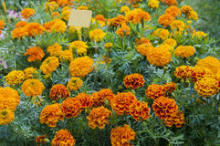 Marigolds. Orange marigolds in pots, greece Stock Photo