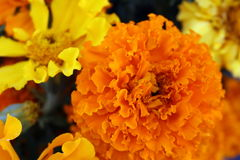 Marigolds. Orange and yellow marigolds are colorful harbingers of autumn Stock Image