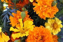 Marigolds. Orange and yellow marigolds are colorful harbingers of autumn Royalty Free Stock Images