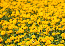 Marigolds plant Royalty Free Stock Image