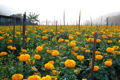 /  Marigolds planted in the house or the fence. Life is sacred destined to flourish. Advanced color like gold glittering Yellow br Stock Image