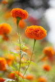 Marigolds. Sun shining over a hill of Marigolds Royalty Free Stock Images