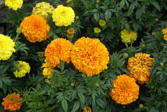 Marigolds. Royalty Free Stock Photography
