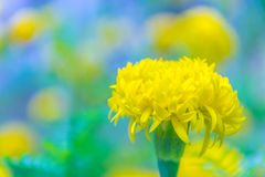 Marigolds,Tagetes,Tagetes e Royalty Free Stock Images