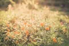 Marigolds or Tagetes erecta flower Royalty Free Stock Photography
