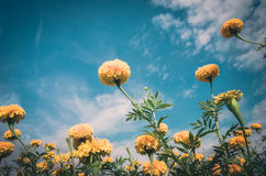 Marigolds or Tagetes erecta flower vintage Stock Photos