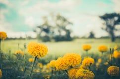 Marigolds or Tagetes erecta flower vintage. Marigolds or Tagetes erecta flower in the nature or garden vintage Royalty Free Stock Image